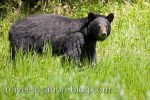 Black Bear Encounter Near Red Lake Ontario Enroute To Manitoba picture